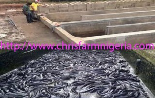 Reality Catfish farming business Plans and Feasibility Study