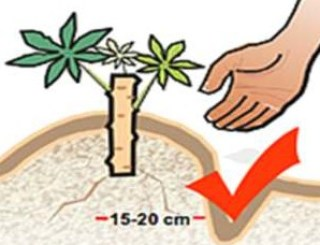 Cassava Planting/Processing on Business Plans and Feasibility Study