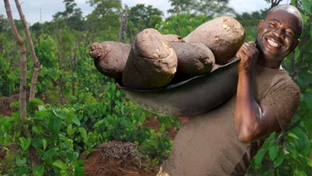Yam Farming/processing Business Plan and Feasibility Study