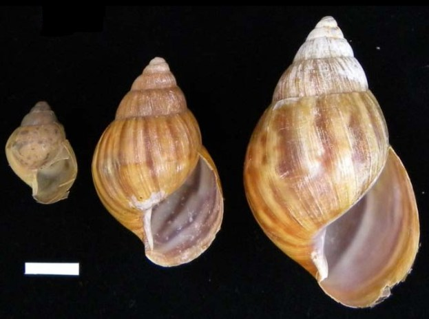 Reproduction in Snail Achatina Fulica And Snail Farming