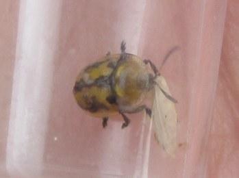 Fleabane Tortoise Beetle