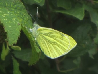A beautifully fresh green-veined white