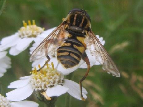 Helophilus pendulus, a hoverfly