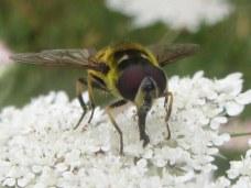 Myathropa florea, a hoverfly