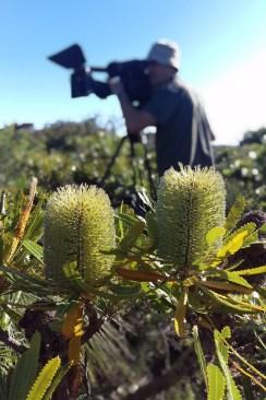 "Camera Mark Leonardi amongst the banksia. ""Gardening Australia"" 2016"