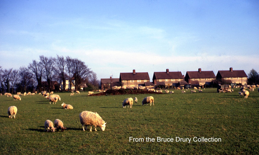 Crawley End Chrishall – sheep grazing