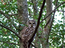 Barred Owl 004 - Version 2