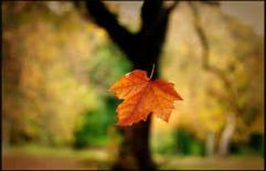 falling leaf single