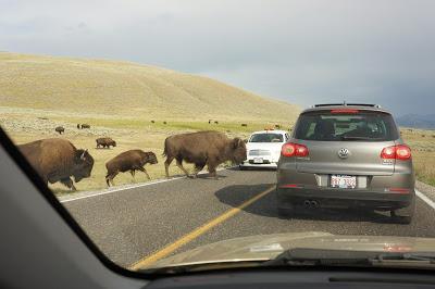在黃石公園,動物路權比車子大