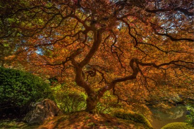 Japanese Maple in Portland, Oregon's Japanese Garden