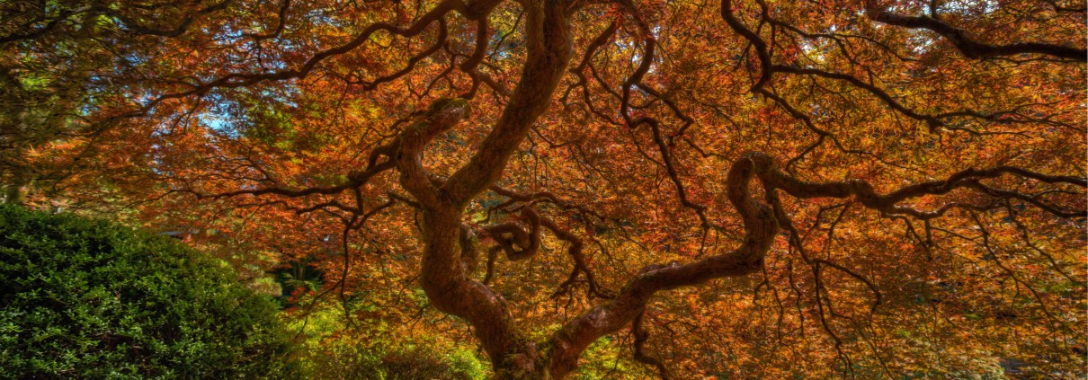 Japanese Maple in Portland, Oregon's Japanese Garden