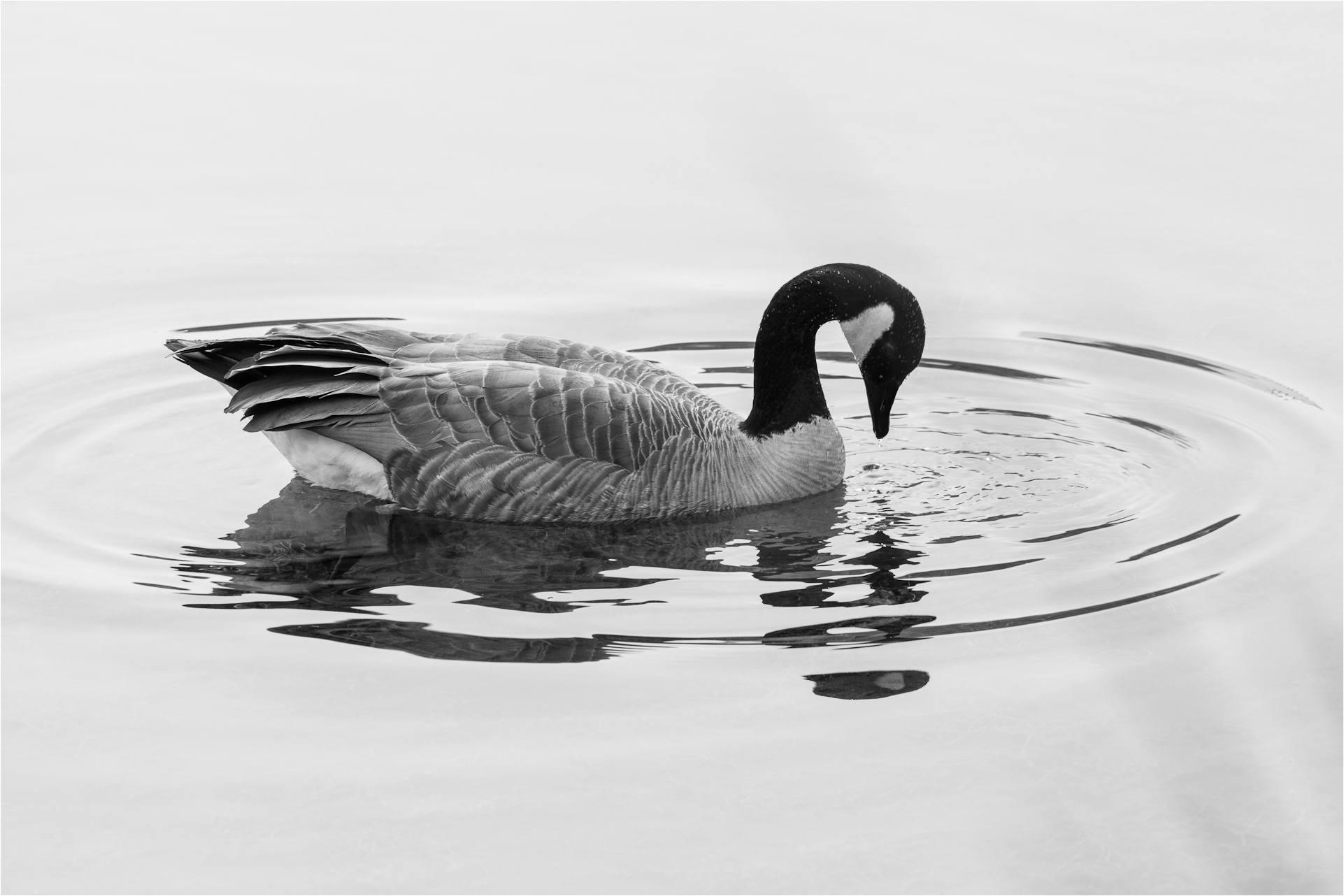 Canada Goose Christopher Martin Photography