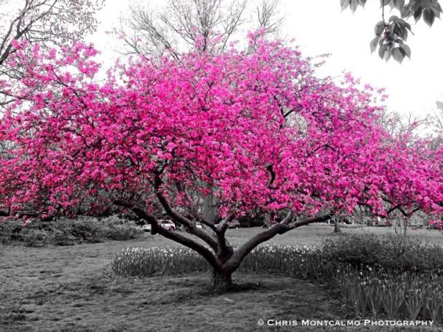 Pink Tree Sherwood Gardens