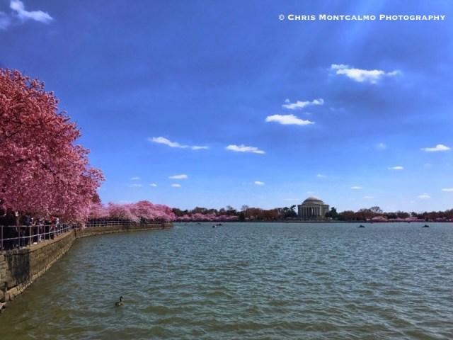 Tidal Basin Cherry Blossoms