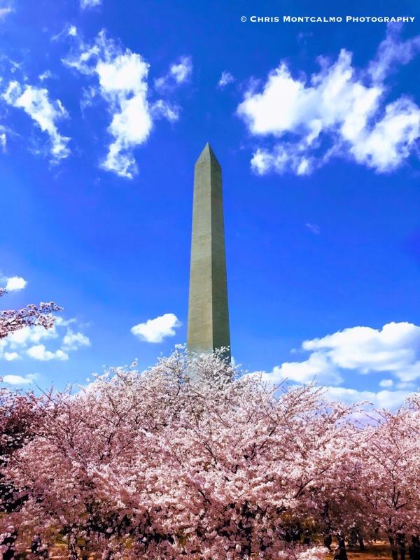 Washington Monument Cherry Blossoms