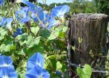Morning glories on the fence