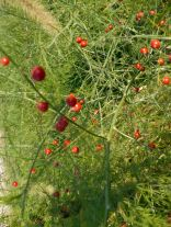The asparagus patch has gone to seed