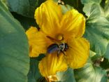 A bee in the squash blossom