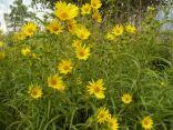 Maximillian sunflowers
