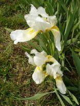 White iris down by the creek