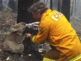 Victoria 2009 Fire Koala