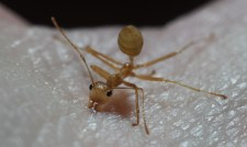 Weaver ant callow worker biting (Townsville, QLD)