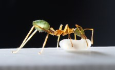 Weaver ant with brood (Townsville, QLD)