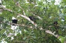 Howler monkeys (Panama)