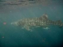 Whale shark (Ningaloo reef, WA)