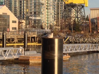 Looking east from the Lonsdale Quay towards the Shipyards, formerly the Burrard Dry Dock. Chris Slater photo.