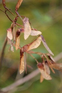 Brown, brittle sycamore seeds on a leafless branch