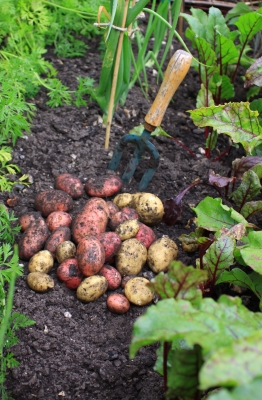 First Potatoes from the Allotment