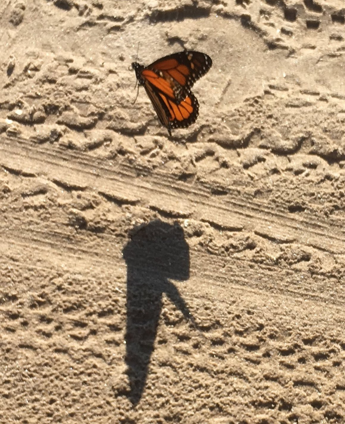 Butterfly taking off at Southwick State Park Beach