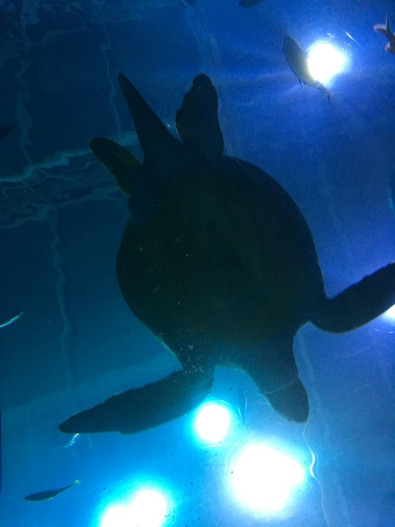 Giant turtle swimming in the aquarium.