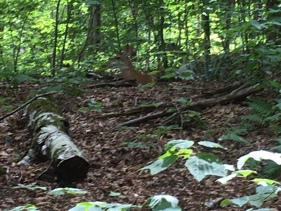 Deer resting.