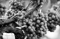 20110806_WineriesLongIsland_LoRes_011