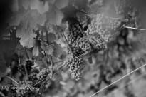20110806_WineriesLongIsland_LoRes_014