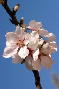 Almod Blossoms