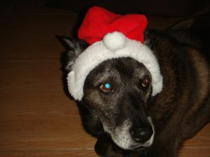 Christa Wojo's dog Roscoe in Santa hat.