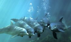 Dolphin_Pack_in_Xcaret_Mexico