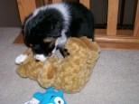Winsten Aussie Black Tri Puppy (13)