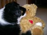 Winsten Aussie Black Tri Puppy (16)