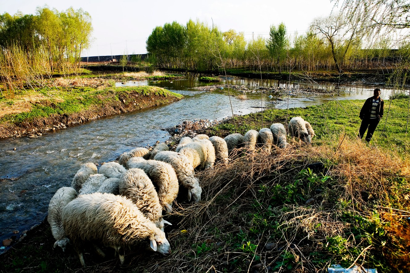 A farmer tend to a herd of sheep next to a river outside Jilin City. The animals graze on grass fed by the heavily polluted Songhua River. Christian Als / GraziaNeri