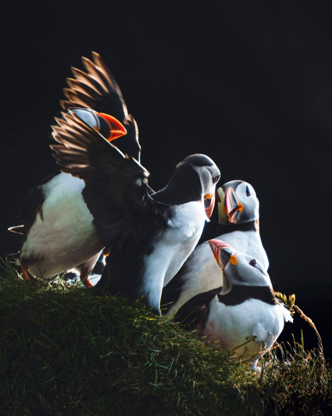 Puffins, Faroe Islands