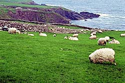 Sheep grazing in Irish pasture. Photo Copyrighted.