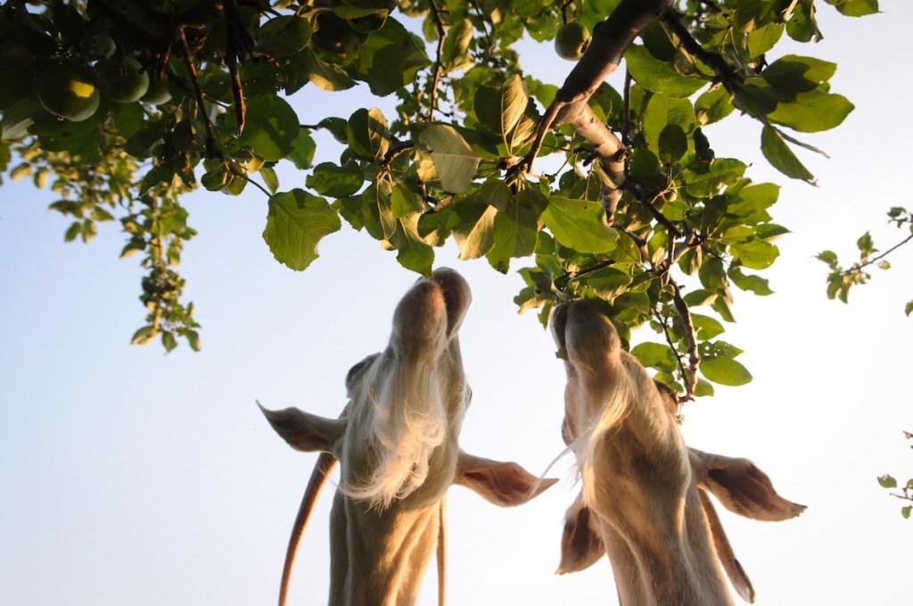 giraffes Apple Kymlicka