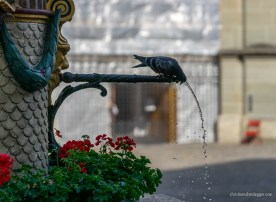 Durstige Tauben beim Mosesbrunnen