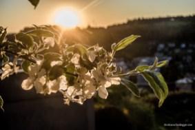 Apfelblüten im Abendlicht