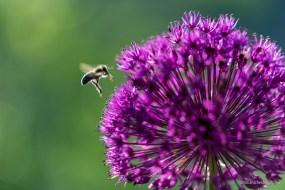 Biene im Anflug auf den Zierlauch