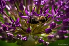 Honigbiene am Zierlauch